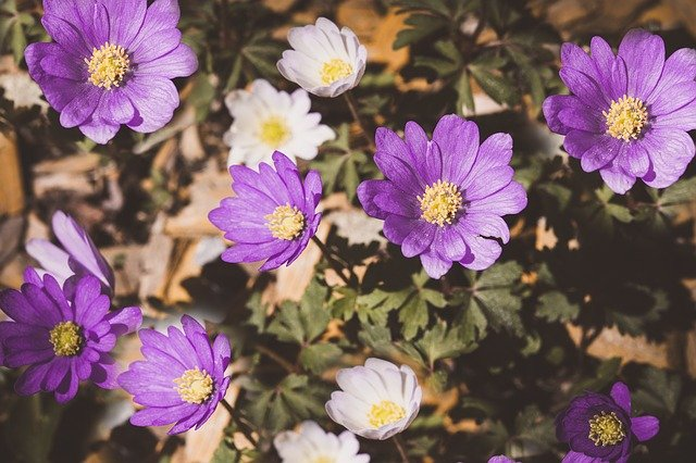 fialová sasanka