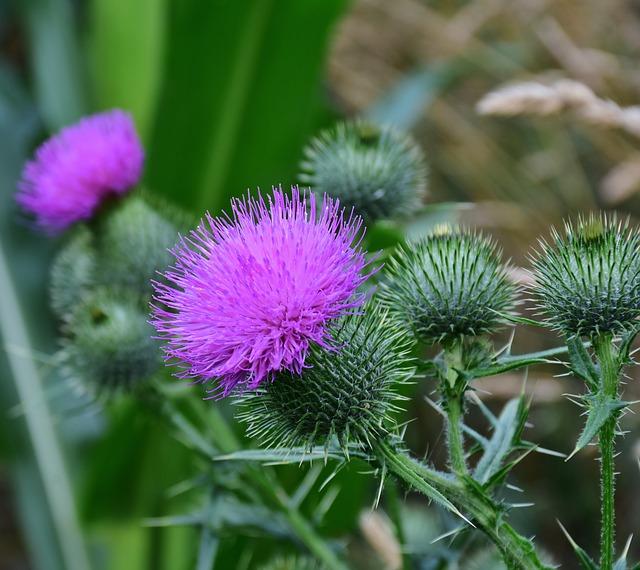 fialový bodlák