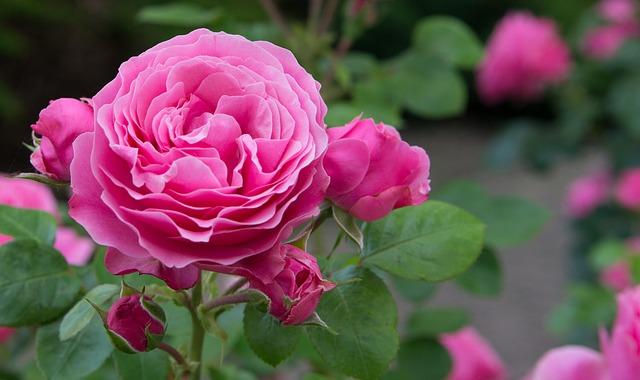 anglická růže.jpg
